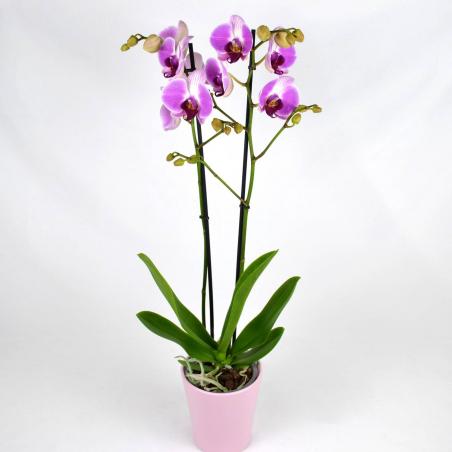 Orchidée fushia 2 branches